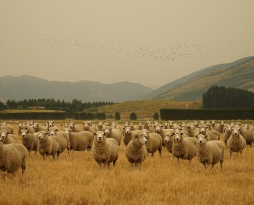 Sheep at a Canterbury farm with smoke haze from New Zealand's fire
